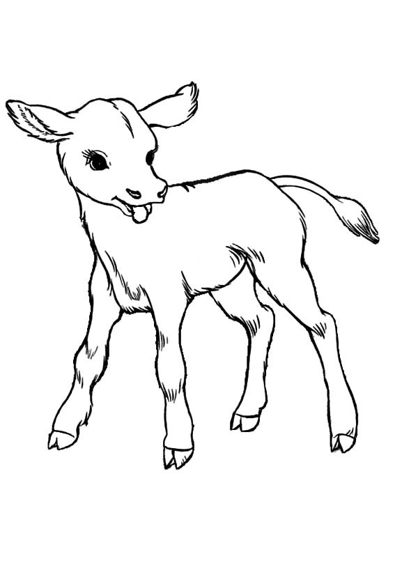 Baby Cow Coloring Pages  Baby Cows Coloring Pages Kids Play Color